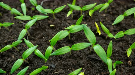 talaj : Time lapse seedlings of bell pepper. Plants are planted in loose fertile soil. Macro shot.