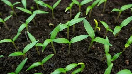 Time lapse seedlings of bell pepper. Plants are planted in loose fertile soil. Macro shot.