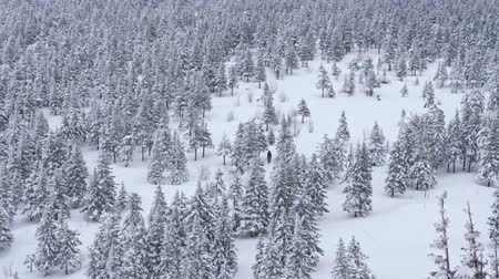 monte de neve : A group of tourists goes through the winter snow-covered coniferous forest in the highlands. Aerial view. Slow motion.