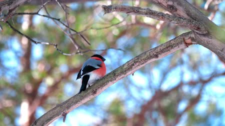 певчая птица : A male bullfinch bird of bright color sits on a tree branch and looks around. In the background, blurred blue sky and tree branches. Стоковые видеозаписи