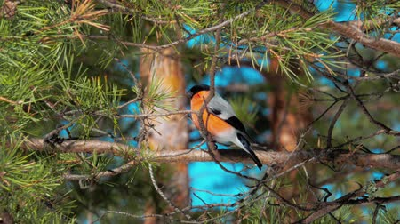 певчая птица : A male bullfinch bird sits on a pine branch and looks around. In the background a blurred blue sky and trunks of trees.