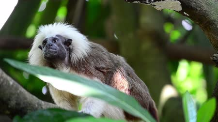 tamarin : a small tamarin on a tree branch