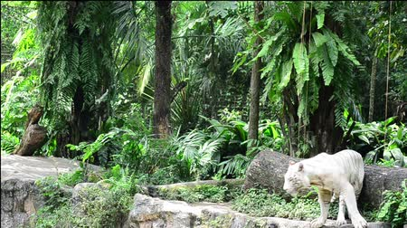 floresta tropical : a white tiger prowling along a ridge