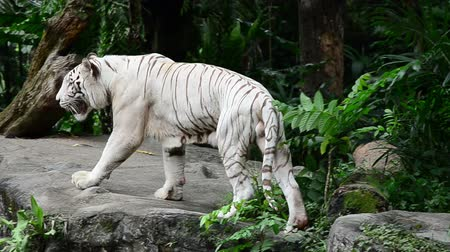 caminhada : a white tiger prowling along a ridge while camera follows
