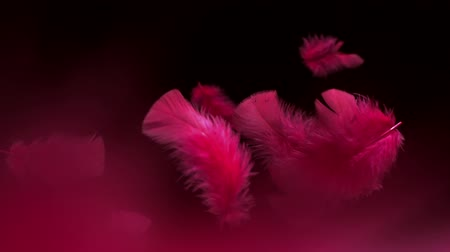 czerwone tło : Feathers float in air with red hues, Slow Motion
