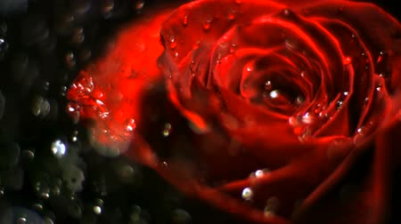 slomo : Water droplets on rose shooting with high speed camera, phantom flex.