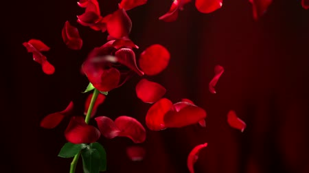 Роуз : Red rose and petal falling shooting with high speed camera.