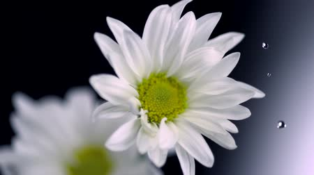stokrotki : Daisy and water droplet shooting with high speed camera.
