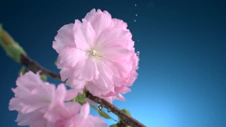 deszcz : Water drops hitting cherry blossom shooting with high speed camera.