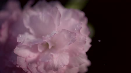 деревья : Snowing on cherry blossom shooting with high speed camera, phantom flex. Стоковые видеозаписи