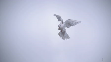 ruhanilik : White bird flapping shot with high speed camera, phantom flex. Stok Video