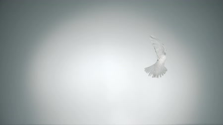 dove of peace : White bird flapping shot with high speed camera, phantom flex. Stock Footage