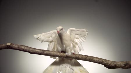 dove of peace : White bird fluttering on branch shooting with high speed camera, phantom flex.