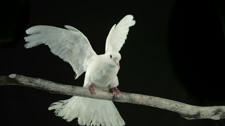 brancos : White bird landing on branch shooting with high speed camera, phantom flex