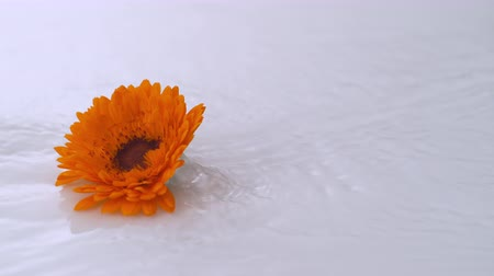 хрупкость : Single flower dropped onto water surface. Shot with high speed camera, phantom flex 4K.  Slow Motion.