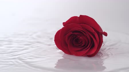 Роуз : Single red rose dropped onto water surface. Shot with high speed camera, phantom flex 4K.  Slow Motion. Стоковые видеозаписи