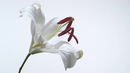 vallási : Rotating lily. Shot with high speed camera, phantom flex 4K.  Slow Motion. Unedited Stock mozgókép