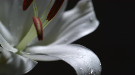 flower : Water drop on lily.  Shot with high speed camera, phantom flex 4K.  Slow Motion. Unedited Stock Footage