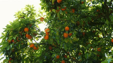 orange background : orange tree and sun