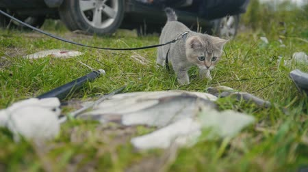 sivilceli : British shorthair cat walking near spear fishing Freshwater Fish at grass in camping