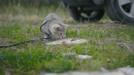 sivilceli : British shorthair cat walking near spear fishing - plays with Freshwater Fish at grass in camping