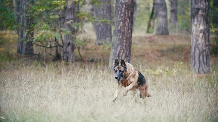 vara : Young woman playing with a shepherd dog in autumn forest - runs for the thrown stick, slow motion Vídeos