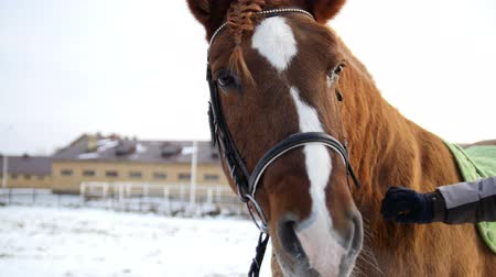 pat : Face of red horse at cold winter day, close up Stock Footage