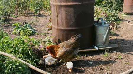 barnyard : Hen with chickens walking in farms yard near iron barrel for water Stock Footage