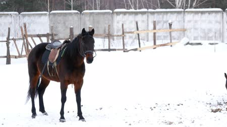 horse racing : Brown saddled horses walking in an open paddock in winter Stock Footage