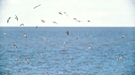 nyel : Cliff swallows flying over the wide river in summer day