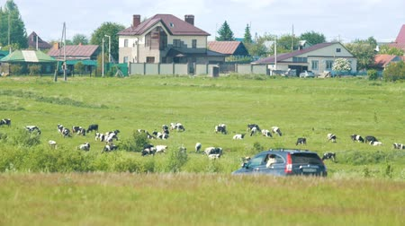 пастораль : Cows grazing in a village by a passing car