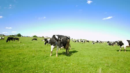 otlama : Cows graze in the green field on the pasture in sunny day