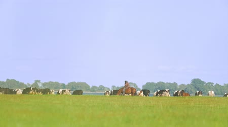 drove : Shepherd on a horse in the pasture of cows in the meadow Stock Footage