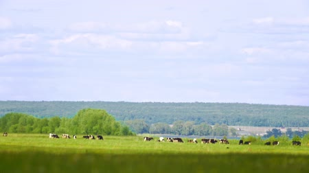drove : Herd of cows grazing far in the meadow in summer day Stock Footage