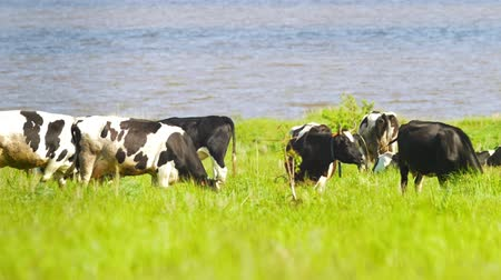 drove : Milk cows grazing on a green meadow in sunny day