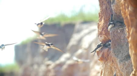 nyel : Swallows sitting on the wall on the cliff