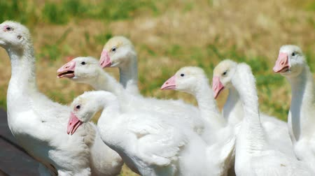 guards : Flock of white geese domestic animals in park on grass field