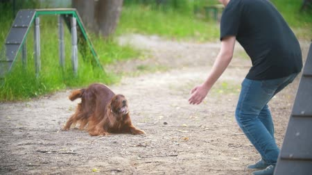 obediente : Young man playing with funny irish setter on playground at summer park