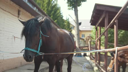 munch : Brown Horse on a Leash in the Paddock. Horse Farm. Stock Footage