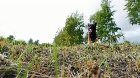 pursue : Shepherd dog runs along the grass. View from below. Slow motion Stock Footage