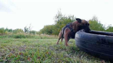 itaat : Dog carries a car tire in teeth. Forest. Slow motion Stok Video