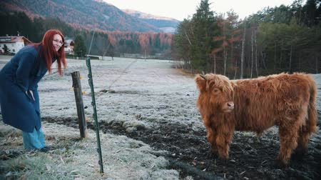 alce : Dolomites. Fluffy bison grazing on the snow field. Yound redhead woman looking at it
