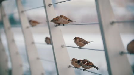 passer by : A flock of cute little sparrows sitting on the stretched rope. Slow motion