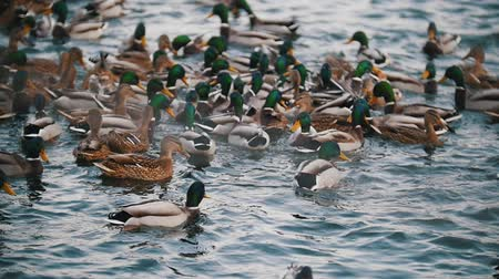 eendje : A flock of ducks swimming in the lake. Close up