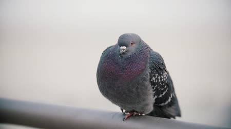 chodnik : A pigeon cackled. Cute pigeon close up