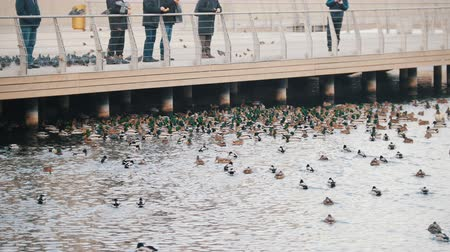アヒルの子 : A flock of ducks swimming in the lake. People watching and feeding them.