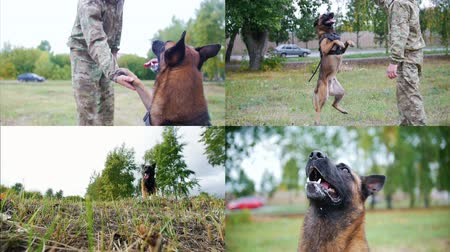 язык : 4 in 1: A man trains his shepherd dog