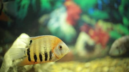 air pump : Beautiful fishes of different sizes swim in transparent aquarium water Stock Footage