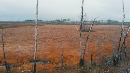 borowina : A landscape of autumn field - bare birch trees - aerial view Wideo