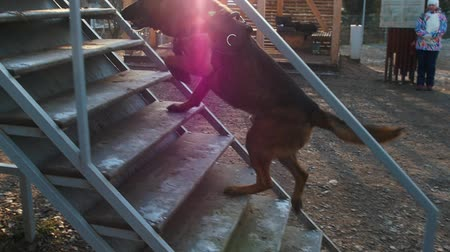 plac zabaw : A german shepherd dog running on the stairs on the playground Wideo